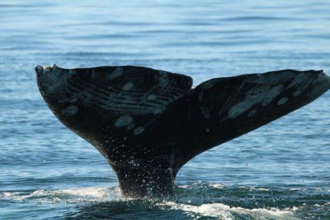 Grey whale tail, Itygran Island