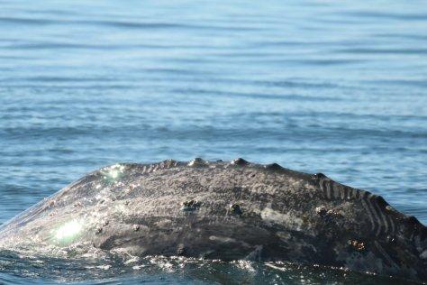 Grey whale back, Itygran Island