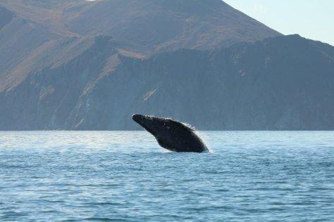 Grey whale breaching at Itygran Island (1)