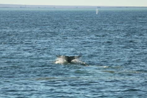 Grey whale tail and blow, Uelen, Cape Dezhnev