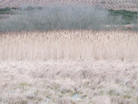 Lochindores reed beds