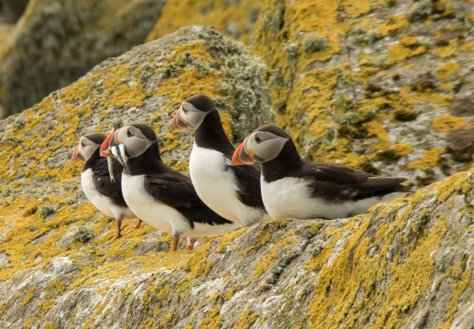 Puffins, The Shiants