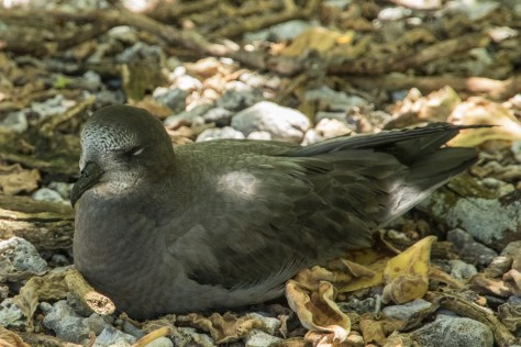 Murphy's petrel, Ducie Island