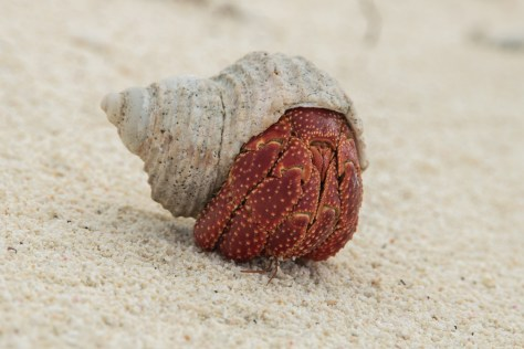 Strawberry hermit crab, Oeno Island