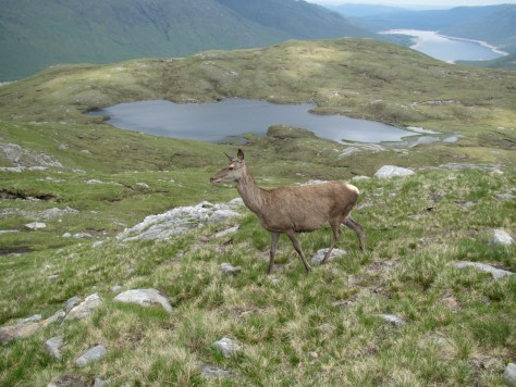 Red deer hind on Druim Shionnach