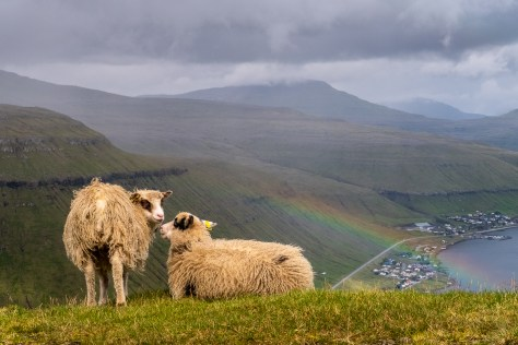 Sheep above Kaldbaksfjørður, on the Oyggjarvegur mountain road