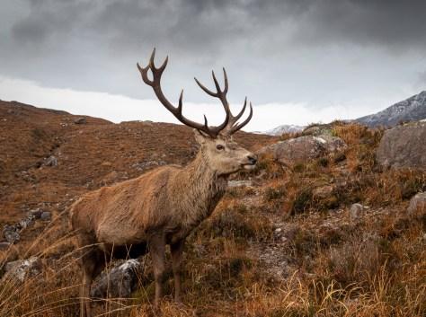 Calum the Stag, Glen Torridon