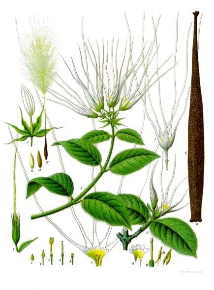 Strophanthus hispidus, from Köhler's Medizinal Pflanzen, Volume 2 (1889)