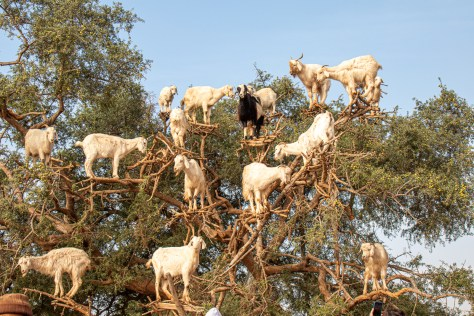 Goats in a tree, near Essaouira