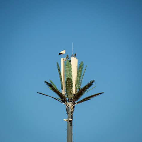 White Stork, Phone Mast