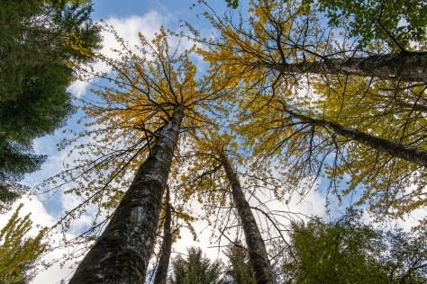 Poplars, Lael Forest Garden