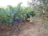 Vigneto-oliveto-Puglia