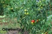 Pomodori-salento