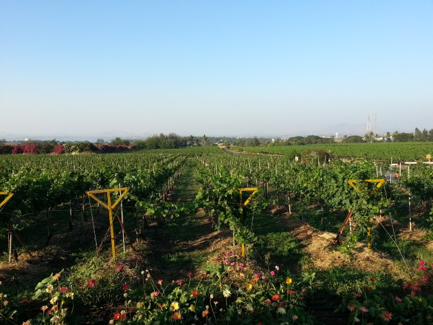 The famed vineyard at the Sula estate