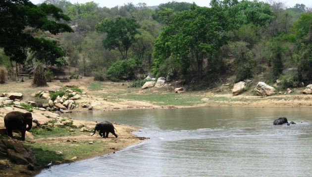A calf runs to her mother as the other elephants keep bathing