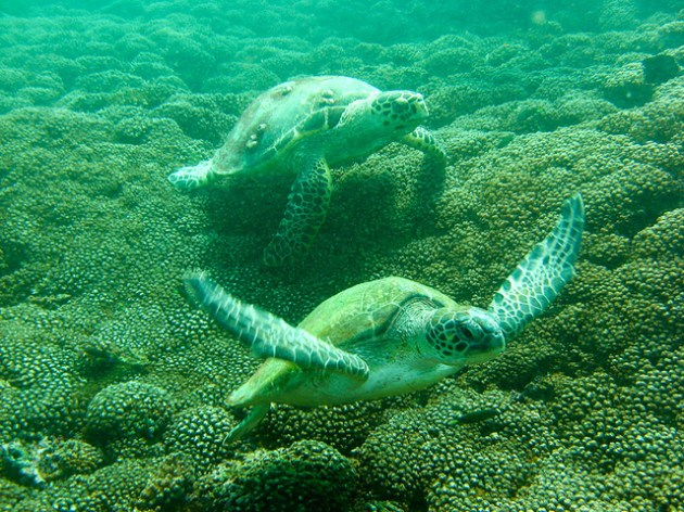 Green turtles gliding over the corals [Photo courtesy: http://www.omantourism.gov.om/]