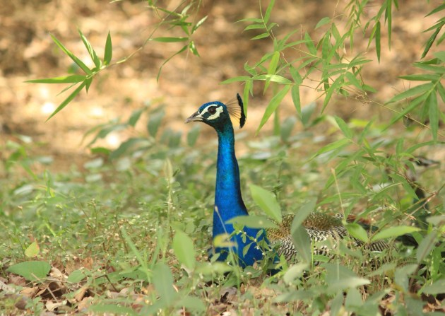 I was fascinated by the striking blue neck of India's national bird - the peacock