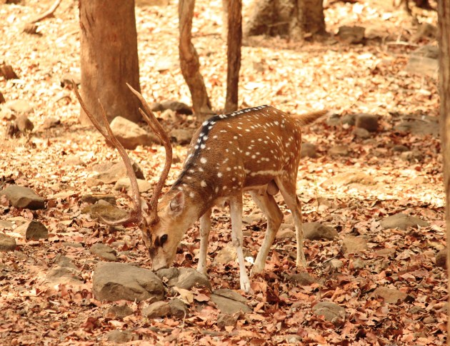 A spotted deer shies away from my camera at Silvassa's Deer Park