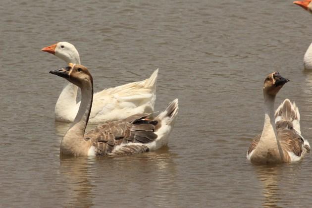 A paddle of ducks wade across the Vanganga Lake