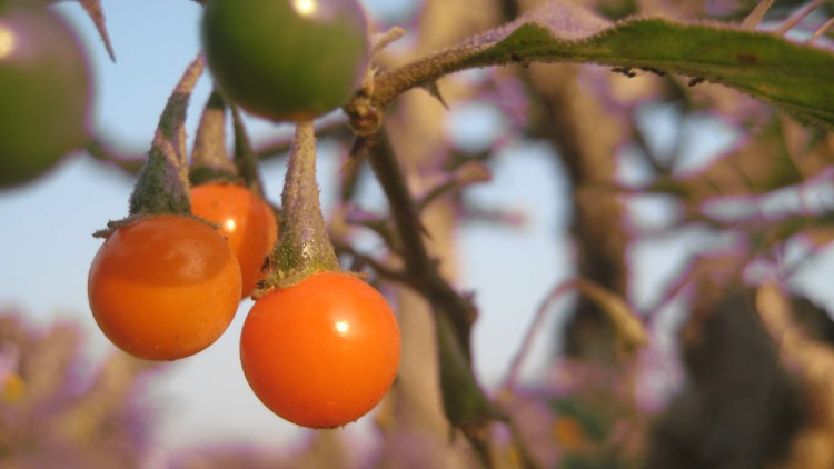 These cute orange fruits look like physalis or wild ground berries