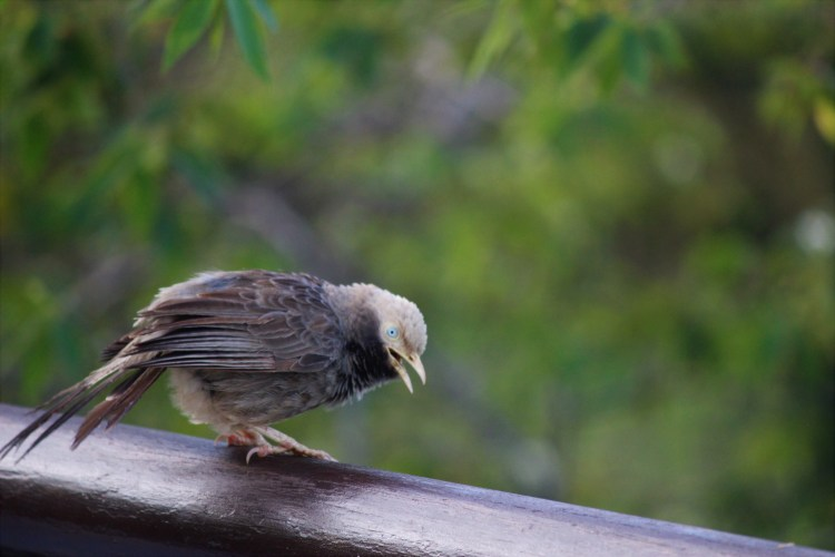 My luck finally shines, and I catch this jungle babbler sitting right on the railing of my balcony! :-)