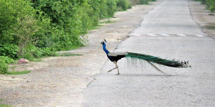 It is more fun to chase peacocks than money!