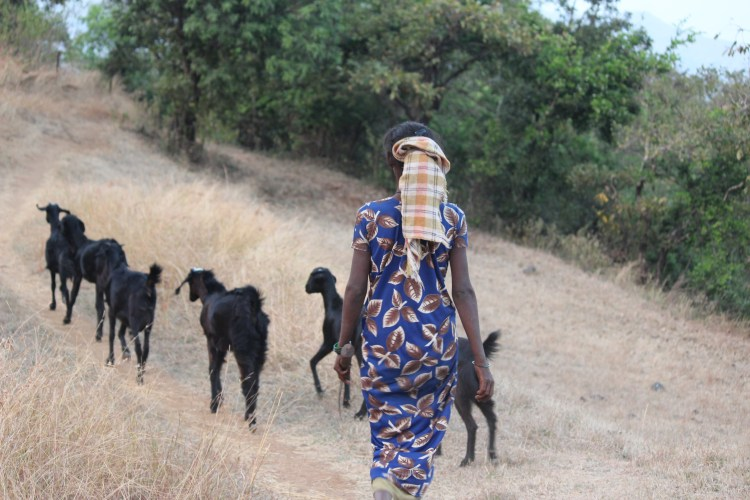 A female goatherd takes her goats back home in the evening.