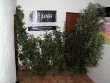 Mais plantas de cannabis apreendidas na zona         da Guarda
