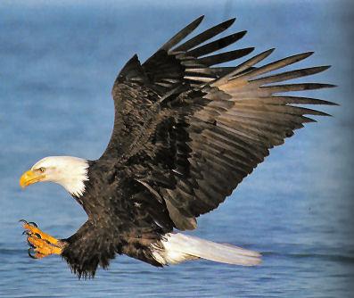 https://i1.wp.com/oiseauxdeproie.webh.ovh/Pygargue-tete-vol.jpg