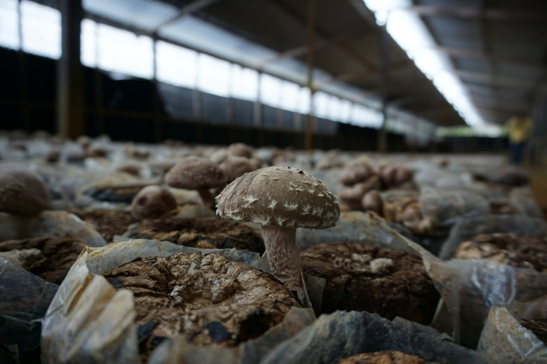 15339114268_4e9fd2685b_k. A lareg warehouse of mushrooms are being grown.