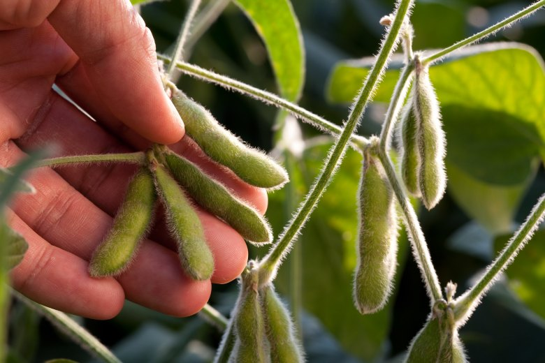 Photo Description: a man's hand holds several soybean pods (edamame) as the sunlight shines and highlights the outer edges of he leaves and pods.