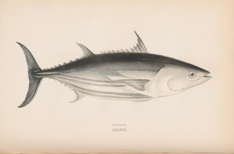 Photo Description: an illustration provided by the Bio Diversity Library of the bonito fish.