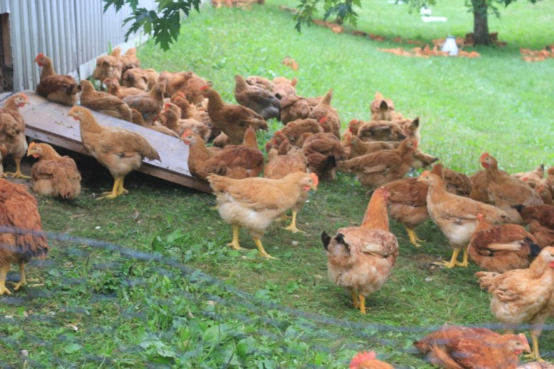 Photo Description: a bunch of chickens hanging out on a green lawn area.