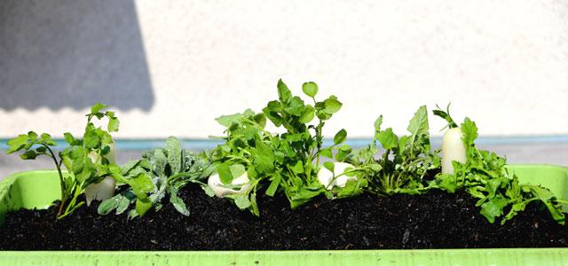 大分県産 春の七草の寄せ植え1