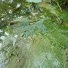 雄蛇ヶ池のアオコ調査結果