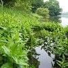 雄蛇ヶ池ポイントガイド(3)半夏生のワンド