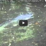 クヌギの花を食べる草魚@雄蛇ヶ池