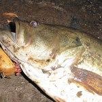 雄蛇ヶ池5/25減水60cm。バド系でプリ雌48cm