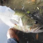 雄蛇ヶ池6/1羽根モノで回復系ビッグフィッシュ54cm