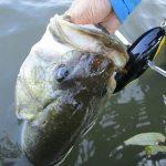 雄蛇ヶ池7/15減水20cmアオコ濁り増加、メガベンタでデカバス1本