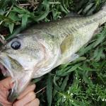 雄蛇ヶ池4/24水位マイナス約30cm、カバー撃って4本