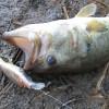 雄蛇ヶ池5/23デカビーツァのボトムクランキンで50cm、49cmの2本