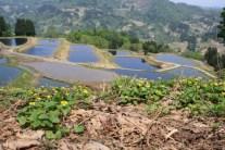 養鯉池とオオバキスミレ@金倉山