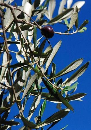 olive-vitamin-e-03