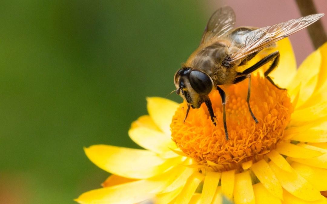 Abejorros no suelen relocalizarse ante afectaciones climáticas, sino que desaparecen El cambio climático está matando a los abejorros