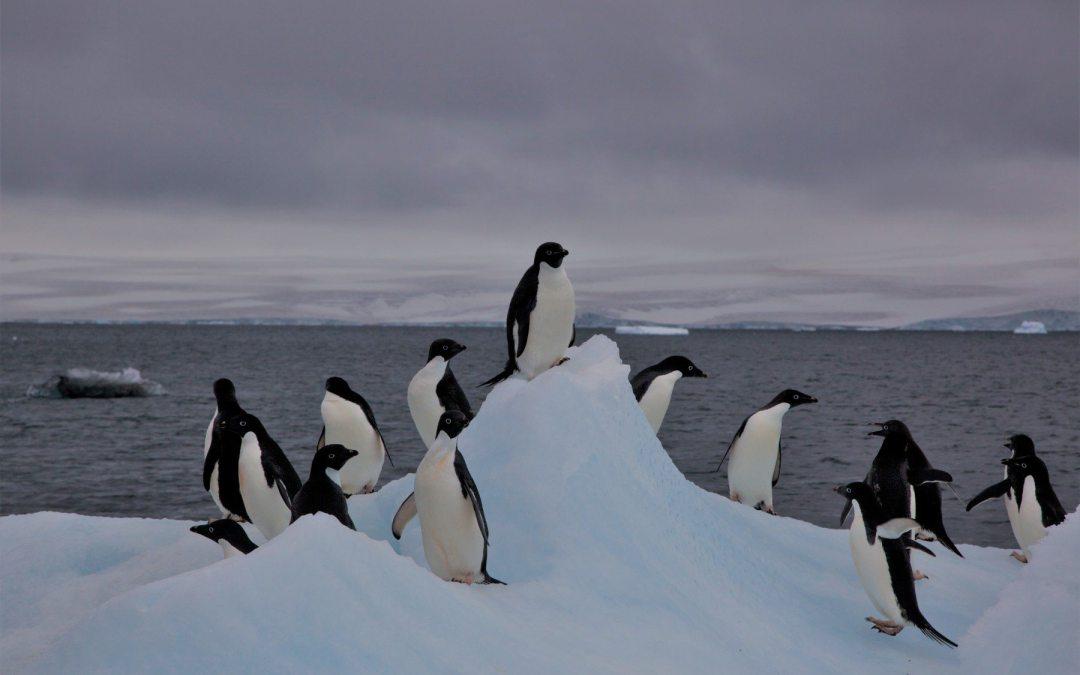Miles de crías de pingüino Adelia mueren de hambre en la Antártida