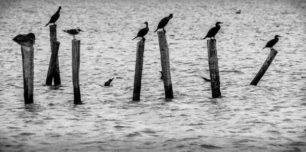 Aves marinas, costa de Campeche.