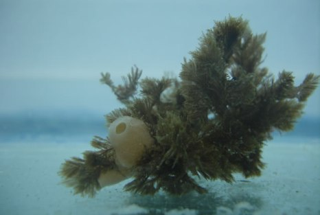 Paraleucilla magna (Marsymbiomics)