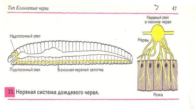 على الخارجية تساعد الديدان الطبقة لجسم المفلطحة