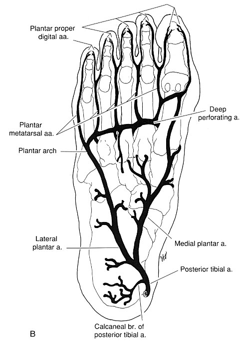 General pattern of the arterial supply to the foot. Plantar foot. Images of foot